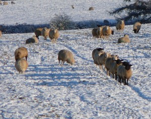 1.-JANUARY-Sheep-in-the-snow-Alison-ter-Haar-