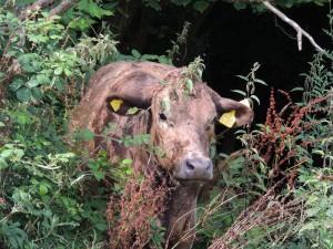April Lone Cow A Prescott